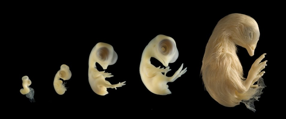 Similarities In Embryonic Structures